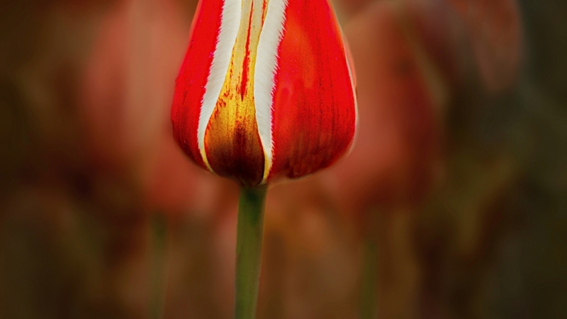 Image of a red and white tulip
