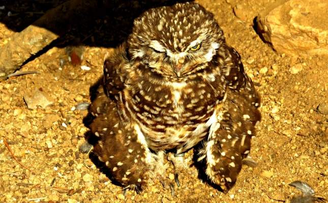 """Burrowing Owl""; Kelly Williams; Amateur; Photography; Employee; Speech"