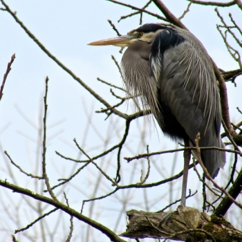 Great Blue Heron, The Watchman