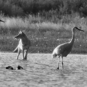 coyote and two sandhill cranes in water
